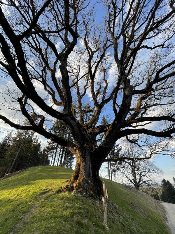 Chêne de l'Emmental